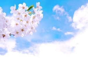 春 桜 青空