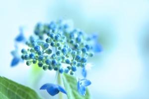 紫陽花 梅雨 アジサイ 季節の変わり目